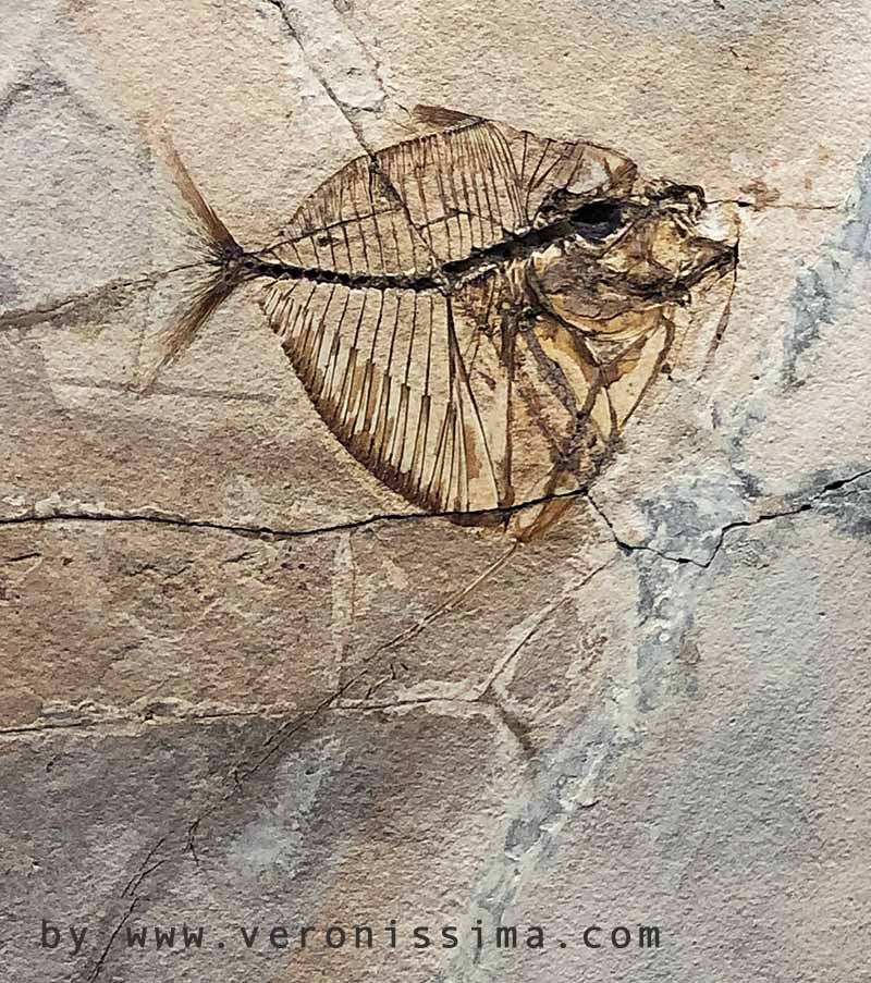 fossil of bolca