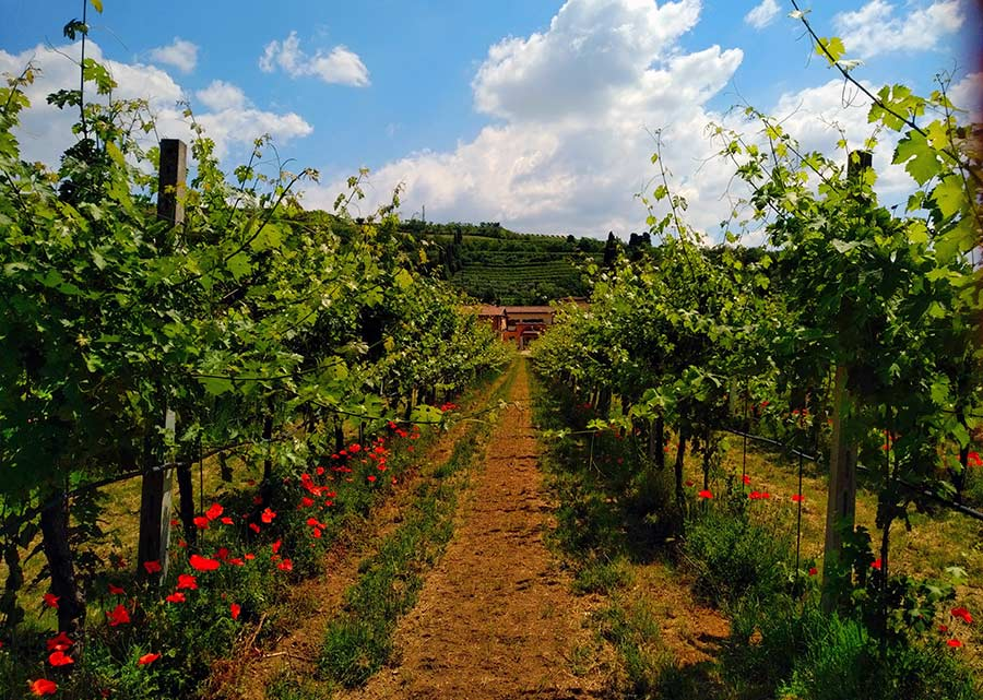 The vineyards with pergola style vines